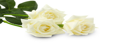 white roses isolated on the white background.